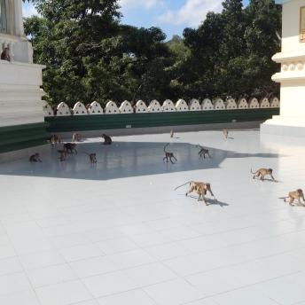 Opičky pod Golden Temple